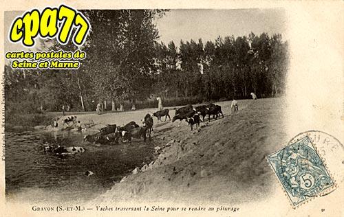 Gravon - Vaches traversant la Seine pour se rendre au pâturage